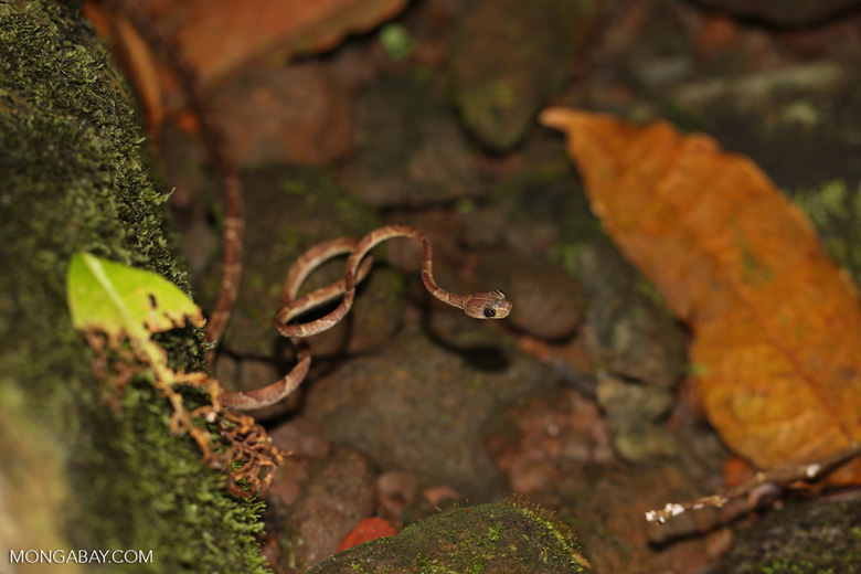 Cat-eyed snake [costa_rica_siquirres_0230]