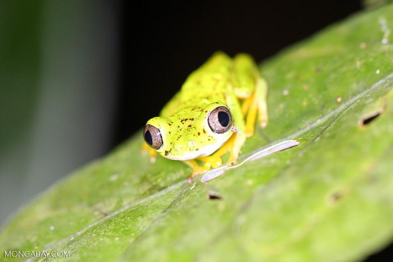 Lemur tree frog (Hylomantis lemur) [costa_rica_siquirres_0349]