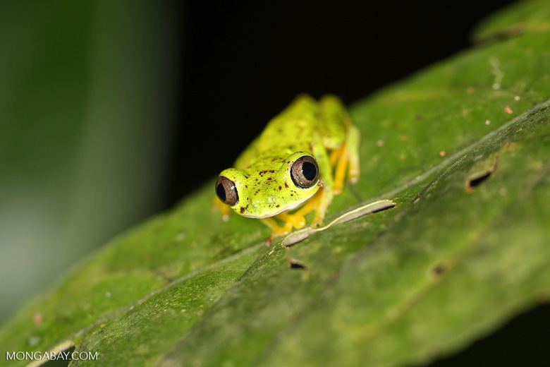 Central America's rainforests are home to plethora of species, like this lemur tree frog (Hylomantis lemur) in Costa Rica. Photo by Rhett A. Butler