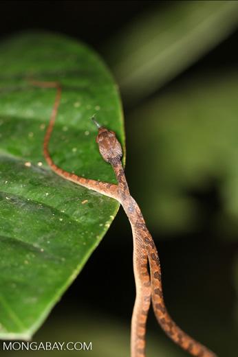 Cat-eyed snake (Leptodeira annulata)