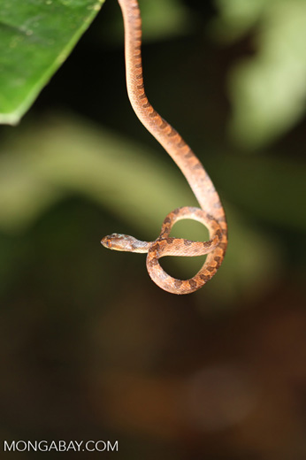 Banded cat-eyed snake