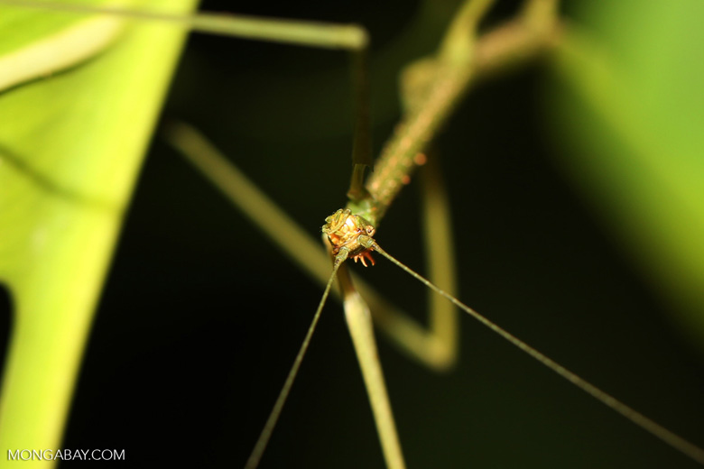 Stick insect [costa_rica_siquirres_0430]