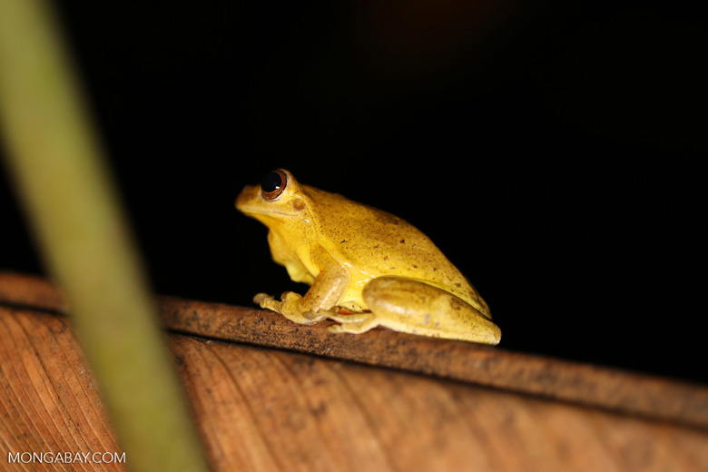 Tree frog [costa_rica_siquirres_0438]