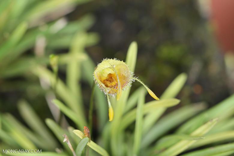 Carnivorous plants [costa_rica_siquirres_0442]