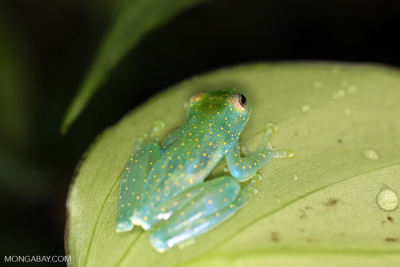 Glass frog [costa_rica_siquirres_0448]