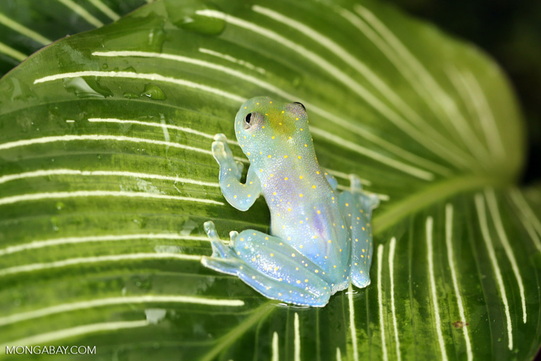 Glass frog [costa_rica_siquirres_0450]