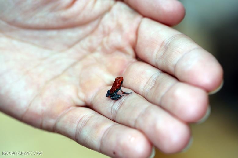 Golfodulcean poison frog (Phyllobates vittatus) [costa_rica_siquirres_0483]