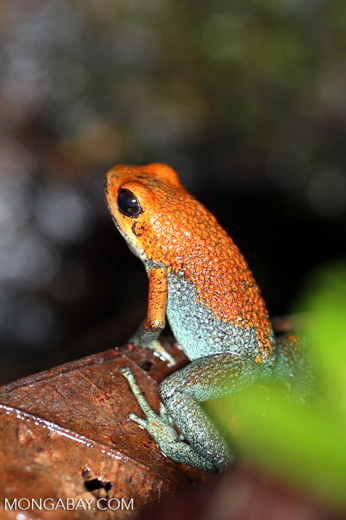 Red Granular Poison Arrow Frog (Oophaga granulifera)