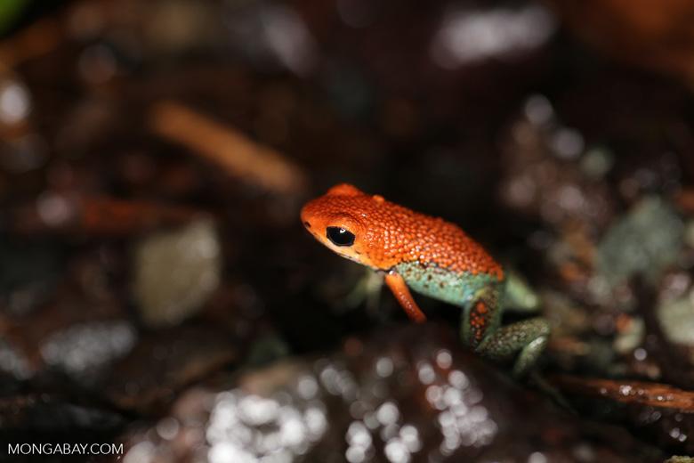 Red Granular Poison Frog