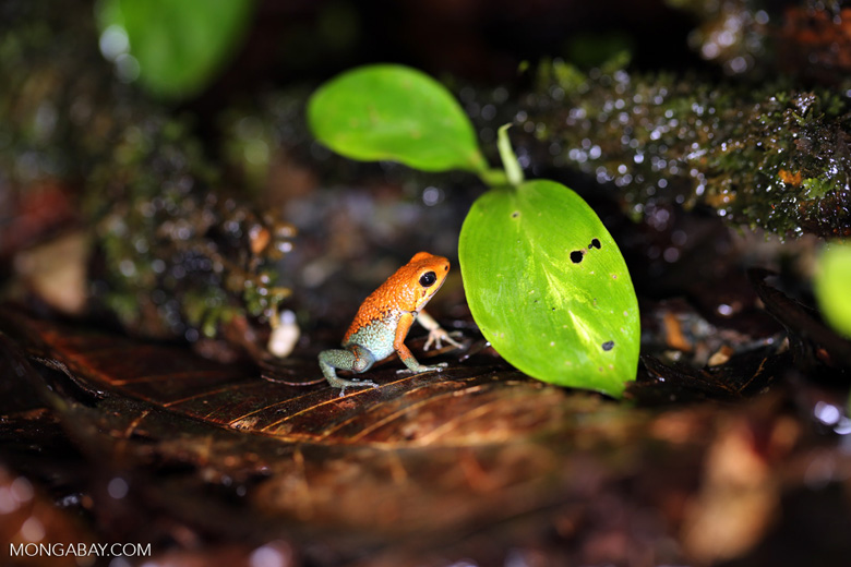 Red Granular Poison Arrow Frog (Oophaga granulifera) [costa_rica_siquirres_0506]