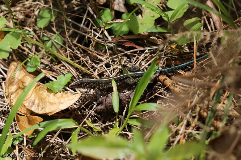 Lizard [costa_rica_siquirres_0536]