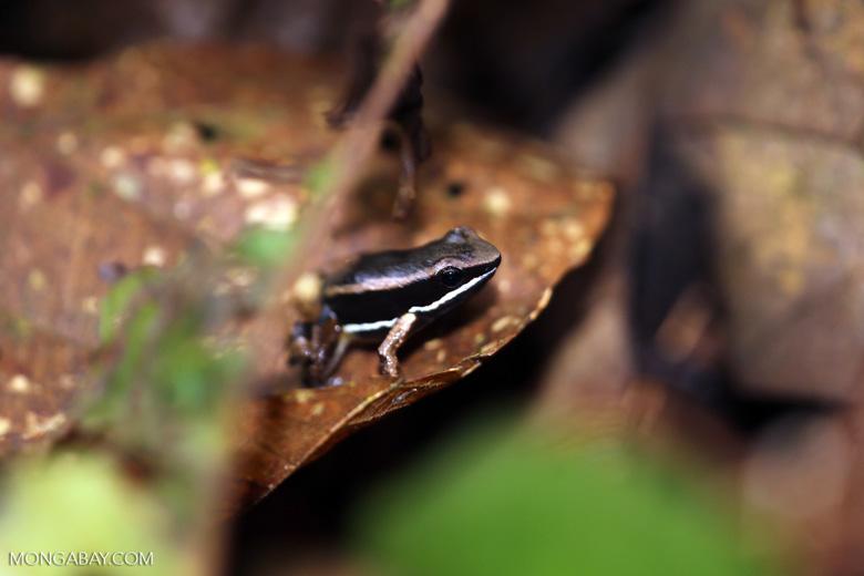 Poison arrow frog (Allobates talamancae)