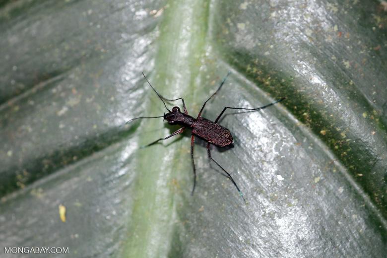 Tiger beetle [costa_rica_siquirres_0559]