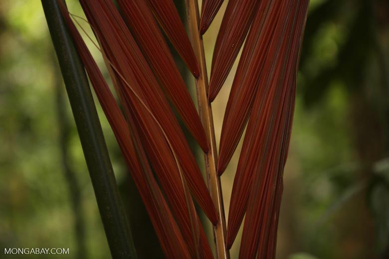 Palm tree [costa_rica_siquirres_0567]