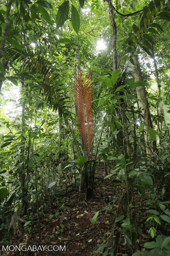 Palm tree [costa_rica_siquirres_0599]