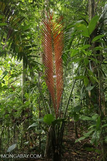 Palm tree [costa_rica_siquirres_0600]