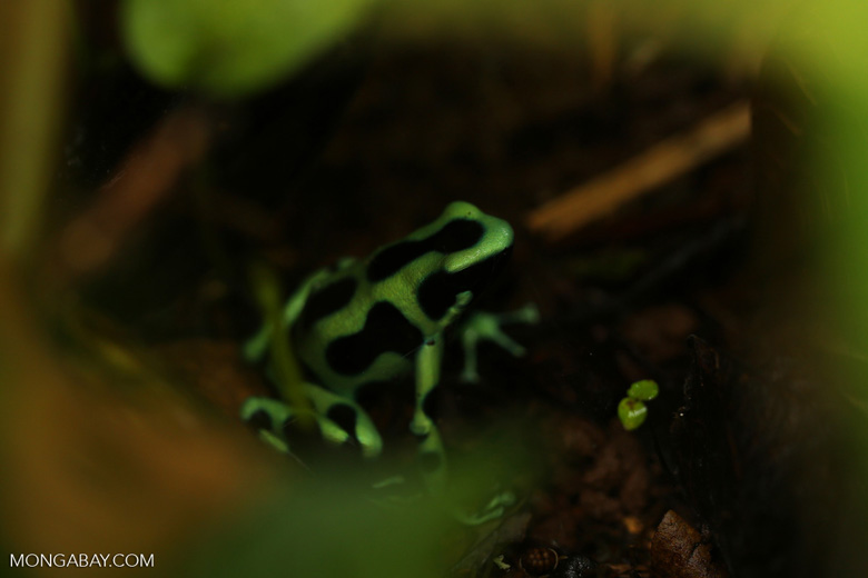 Green-and-black dart frog