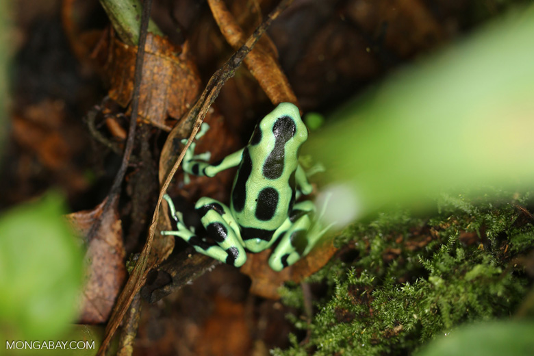 Green-and-black dart frog [costa_rica_siquirres_0704]