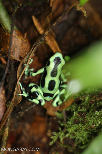 Green-and-black dart frog [costa_rica_siquirres_0705]