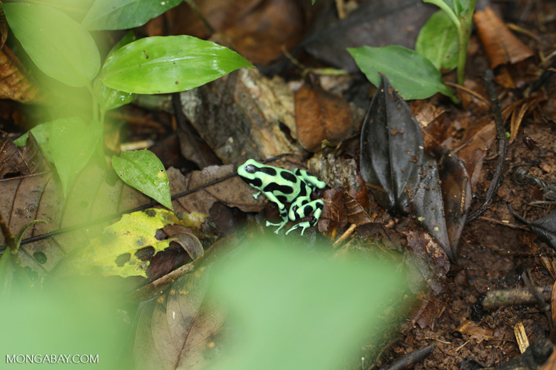 Green-and-black dart frog [costa_rica_siquirres_0707]