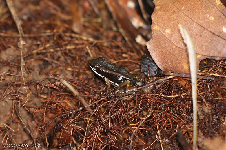 Poison dart frog (Allobates talamancae) [costa_rica_siquirres_0721]