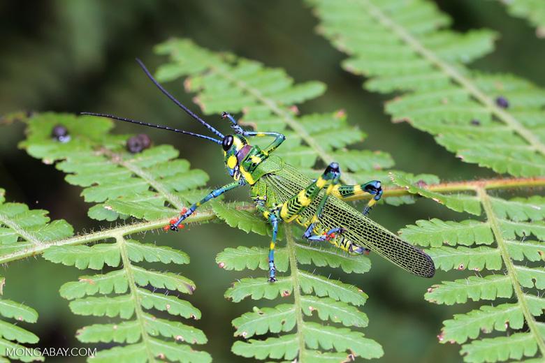 Glasshopper [costa_rica_siquirres_0730]