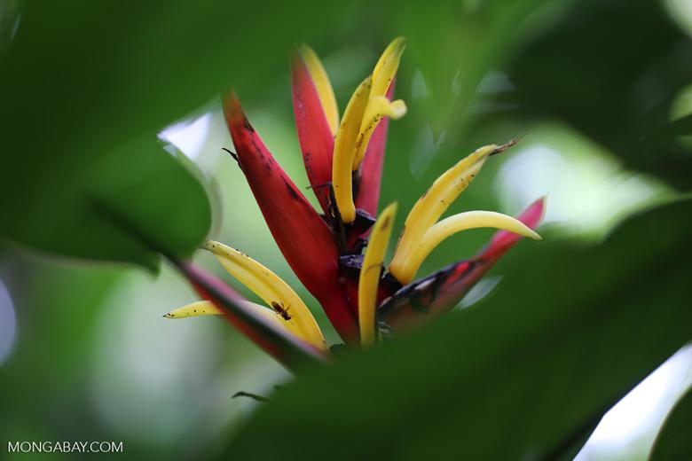 Heliconia [costa_rica_siquirres_0741]