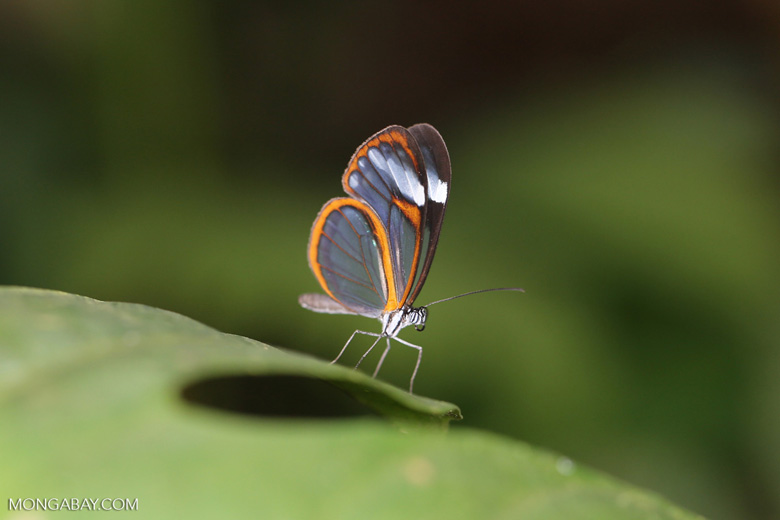 Transparent-winged butterfly (Greta oto)