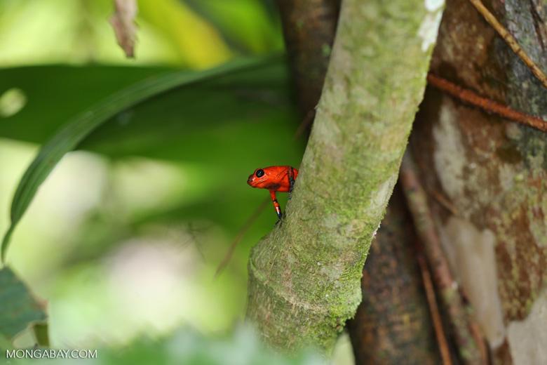 Strawberry dart frog [costa_rica_siquirres_0764]