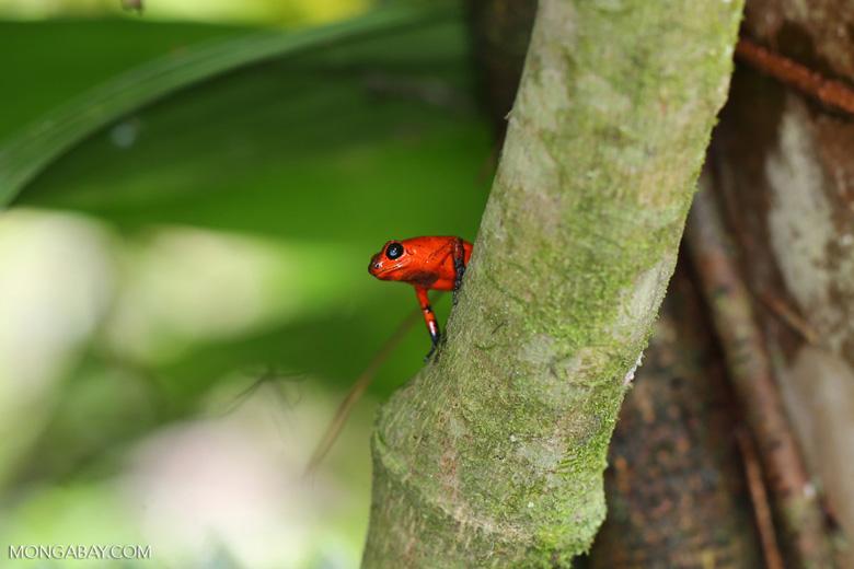 Strawberry dart frog [costa_rica_siquirres_0767]