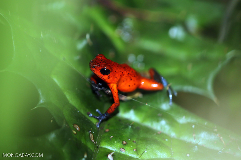Strawberry dart frog [costa_rica_siquirres_0782]