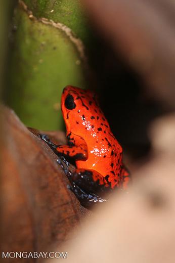 Strawberry dart frog [costa_rica_siquirres_0787]