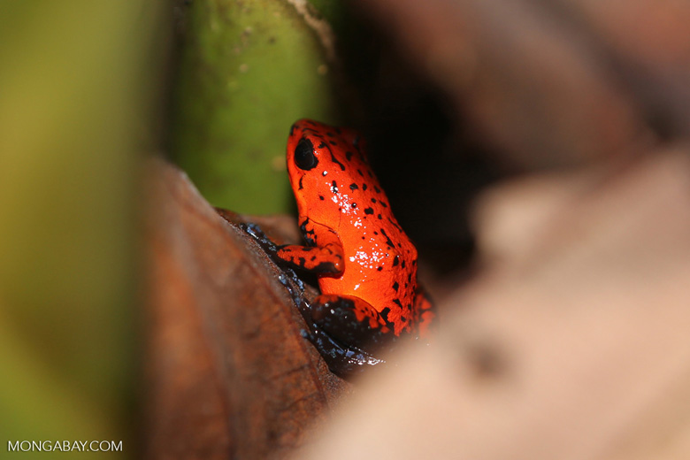 Strawberry dart frog [costa_rica_siquirres_0788]