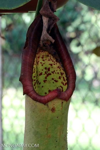 Carnivorous plants [costa_rica_siquirres_0838]