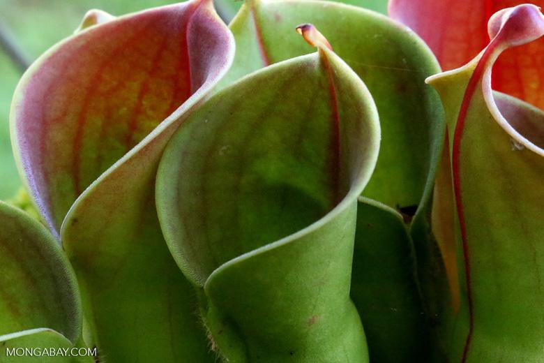 Carnivorous plants [costa_rica_siquirres_0844]