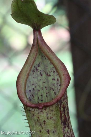 Carnivorous plants [costa_rica_siquirres_0852]