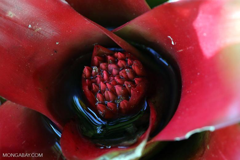 Bromeliad [costa_rica_siquirres_0865]