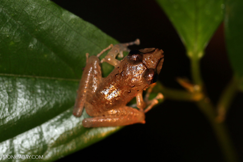 Frog [costa_rica_siquirres_0883]