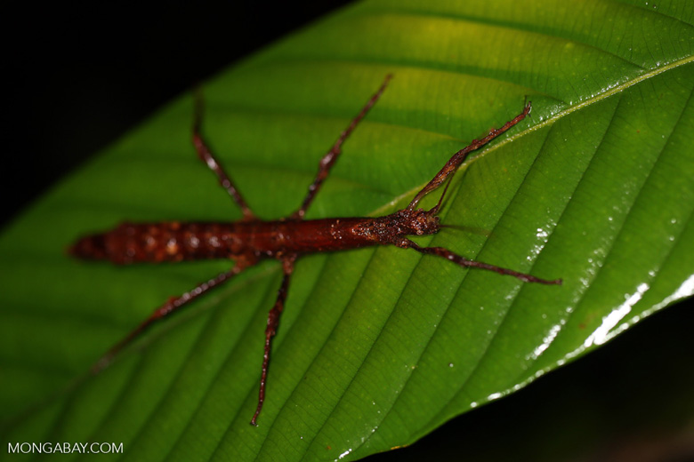 Stick insect [costa_rica_siquirres_0885]