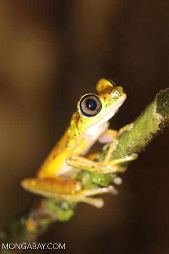 Tree frog [costa_rica_siquirres_0942]