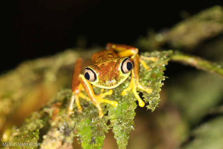 Tree frog [costa_rica_siquirres_0950]
