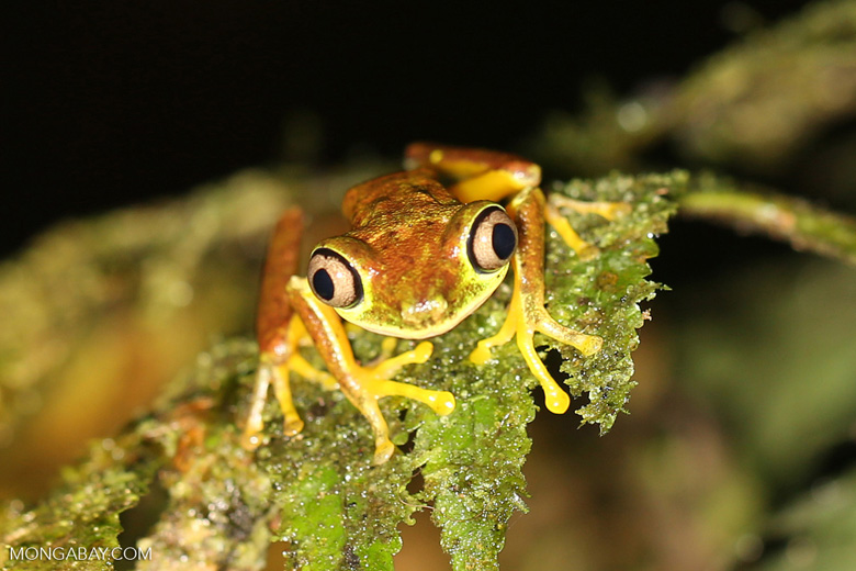 Tree frog [costa_rica_siquirres_0951]