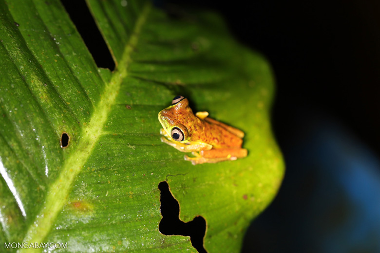 Tree frog [costa_rica_siquirres_0954]