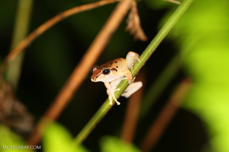 Frog [costa_rica_siquirres_0998]