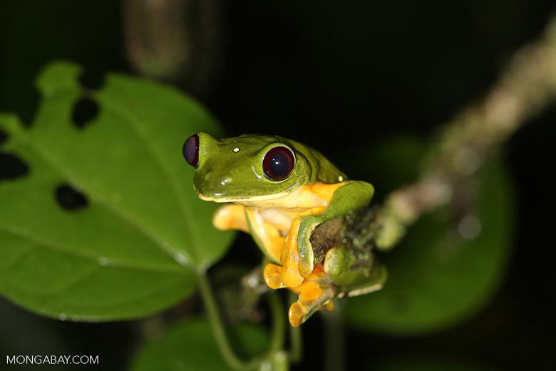 Gliding Leaf Frog (Agalychnis spurrelli) [costa_rica_siquirres_1009]