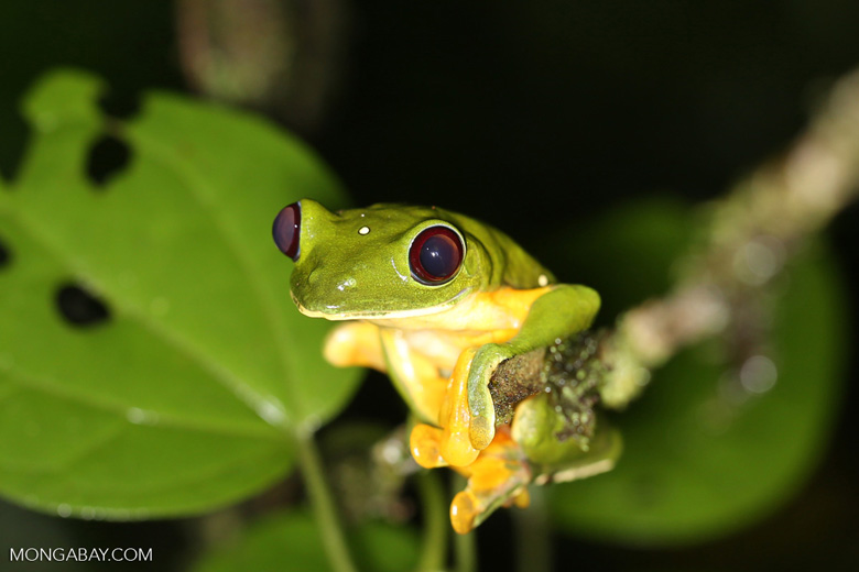 Gliding Tree Frog (Agalychnis spurrelli) [costa_rica_siquirres_1011]