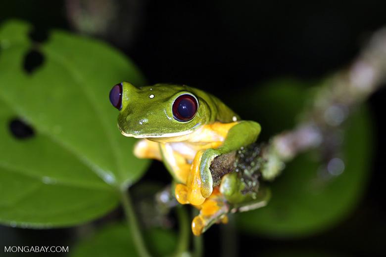 Gliding Treefrog (Agalychnis spurrelli)