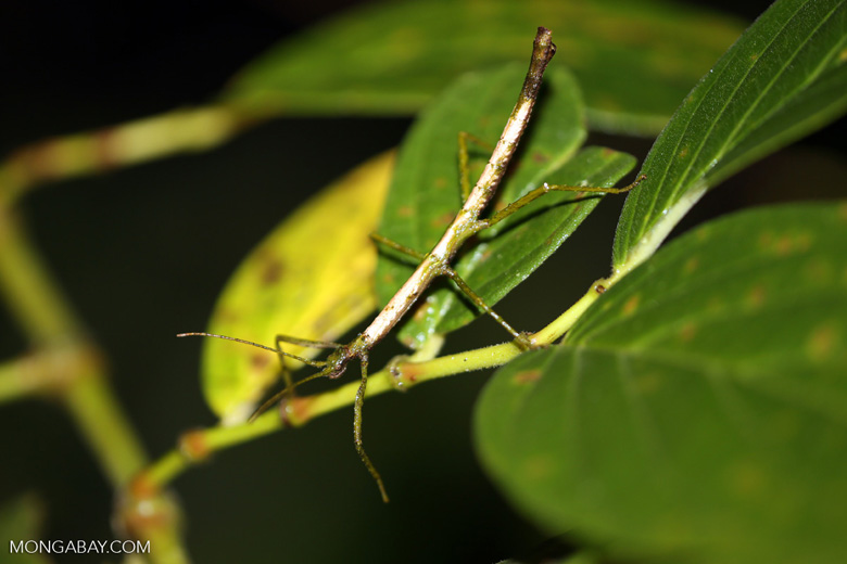 Stick insect [costa_rica_siquirres_1037]