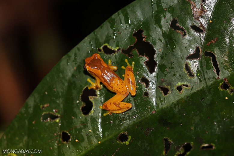 Tree frog [costa_rica_siquirres_1058]
