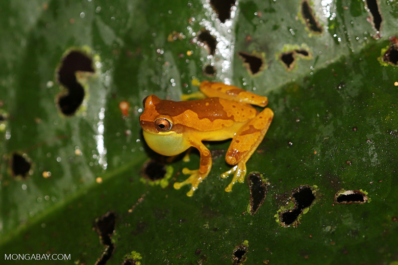 Tree frog [costa_rica_siquirres_1059]